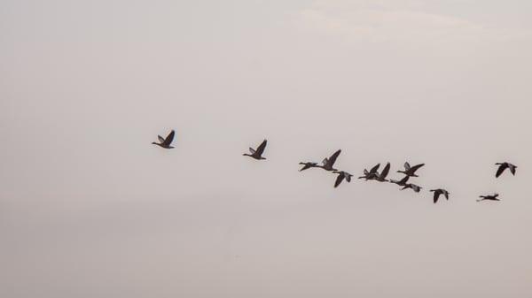 Birds migrating in the sky